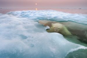 the-water-bear-american-paul-souders-took-his-zodiac-boat-to-hudson-bay-in-canada-during-mid-summer-and-waited-patiently-for-this-polar-bear-first-spotted-on-sea-ice-about-30-miles-offs